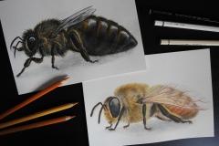 Pszczoła miodna truteń i królowa