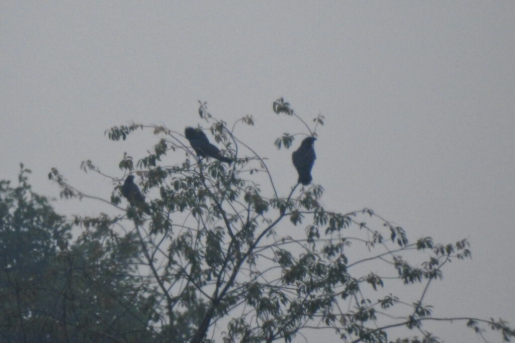 kruki na drzewie