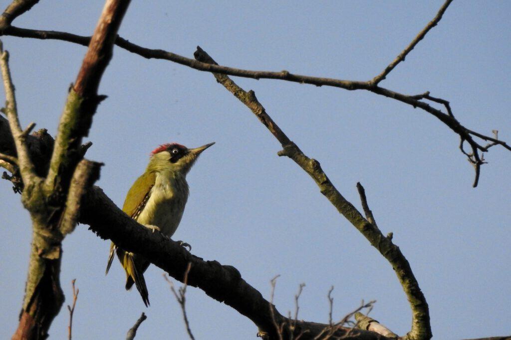 dzięcioł zielony samiec