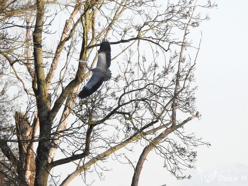 czapla siwa odlatująca z drzewa