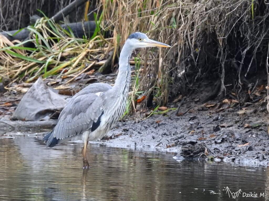czapla siwa polująca w rzece