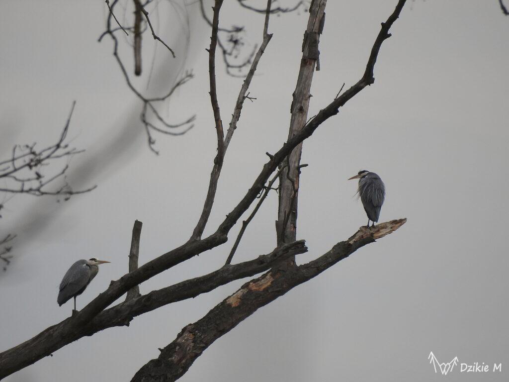 czaple siwe na drzewie