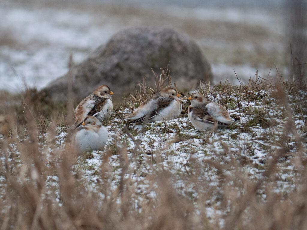 Śnieguły na Ptasim Szlaku
